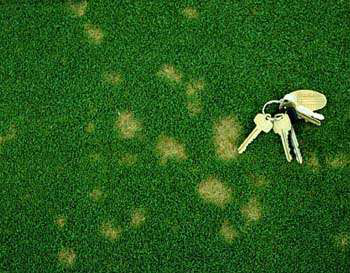 Symptoms of dollar spot disease on creeping bentgrass putting green, via Penn State College of Agricultural Sciences