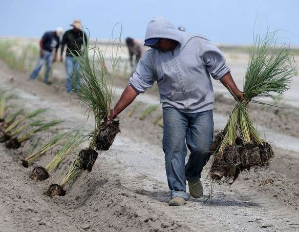 62,000 Native Grasses Planted on Barrier Islands