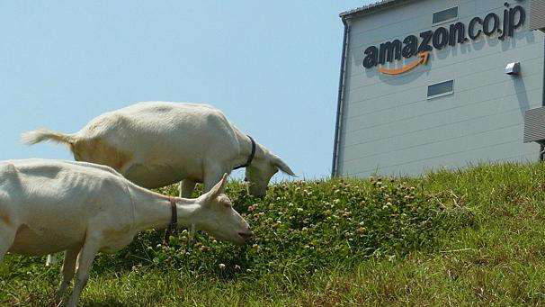 606x341_230950_amazon-hires-goats-for-offic
