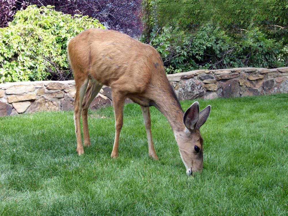 How To Deter Deer