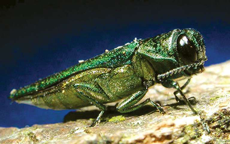 How To Treat Emerald Ash Borer