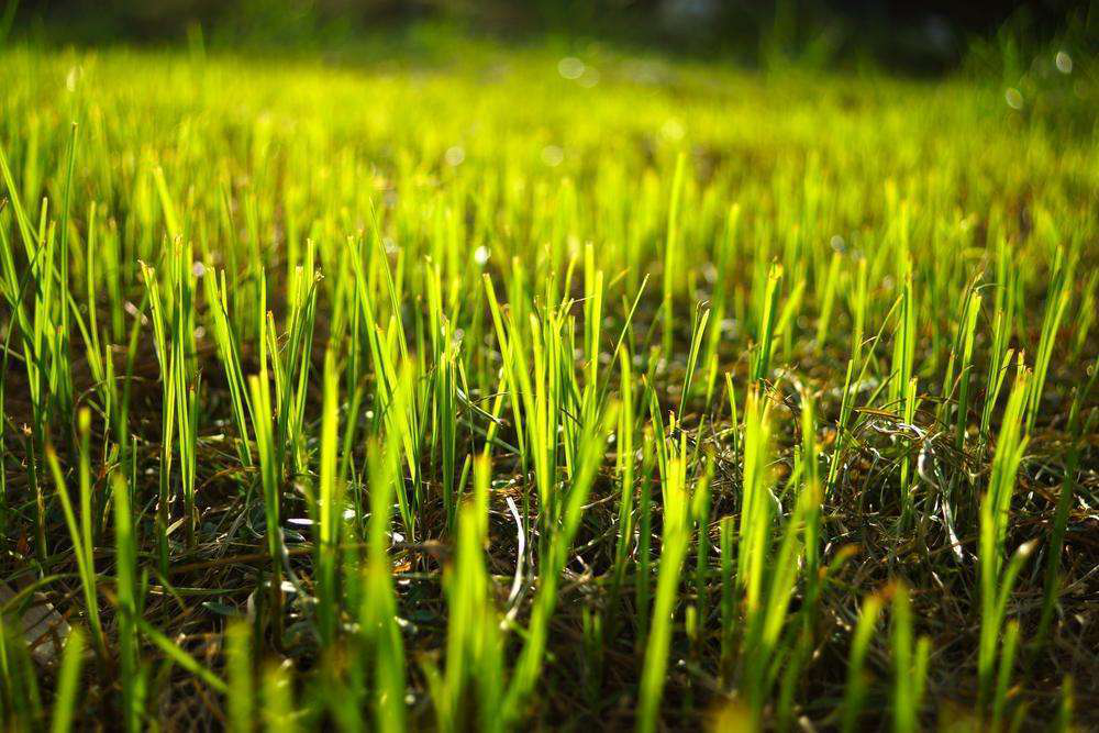 Tips to Reseeding Aging Lawns