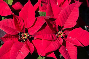 How To Keep Holiday Plants, Greenery Looking Festive All Season Long