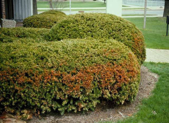 How-to: Repair winter plant damage