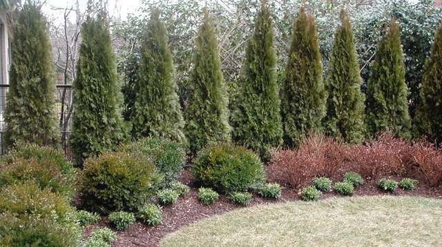 Want some privacy call a landscape contractor for Arborvitae garden designs