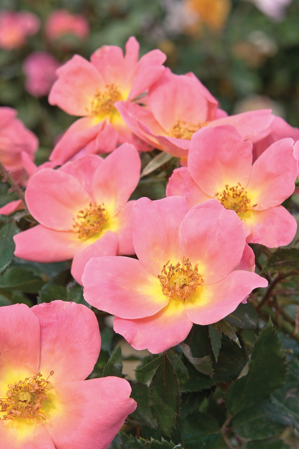 Roses In Garden: Roses Add Long-lasting Color For The Whole Season