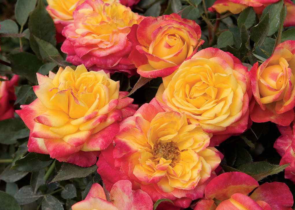 Roses Add Long Lasting Color For The Whole Season