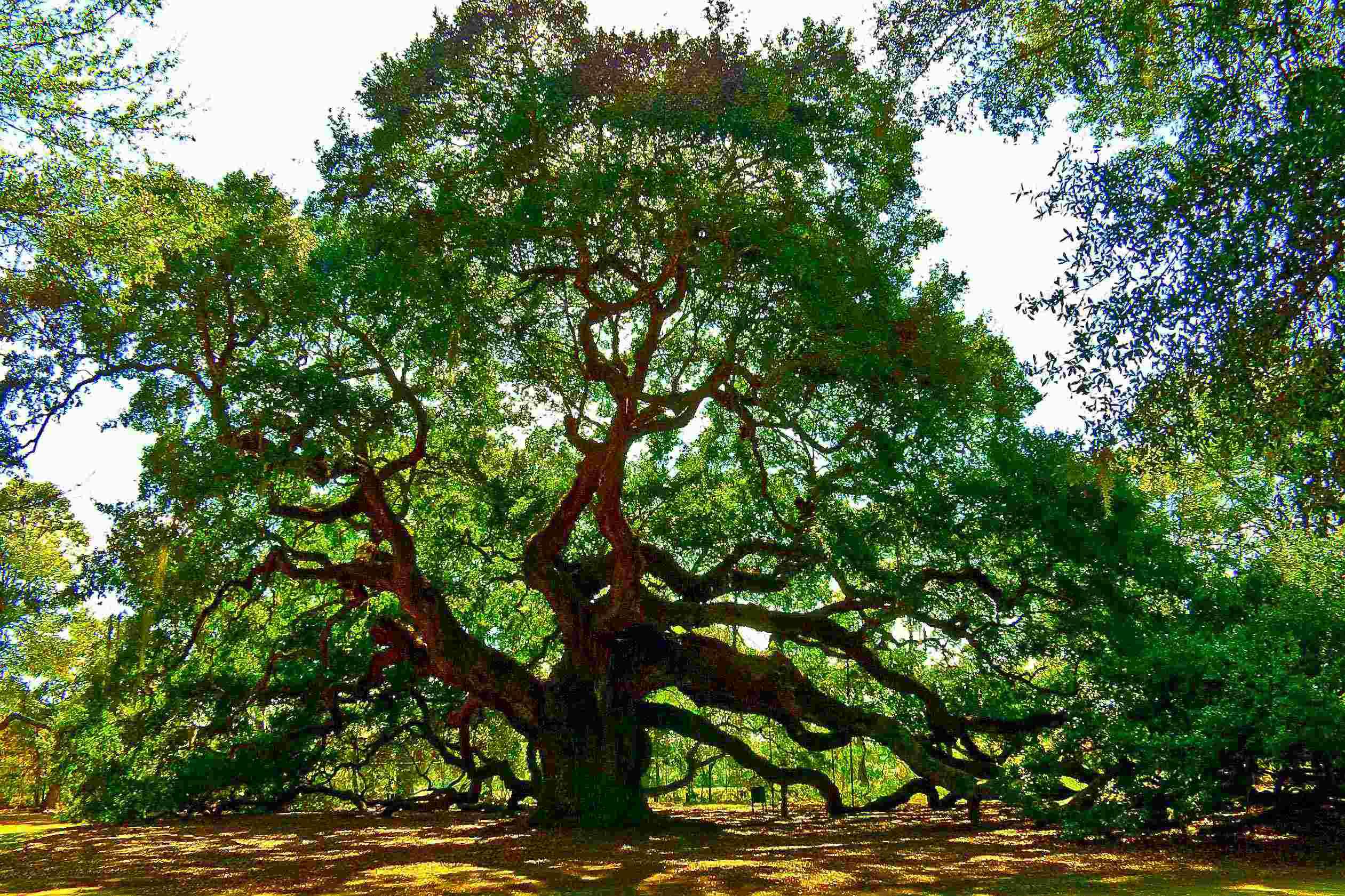 Oak Wilt Prevention During Peak Transmission Season
