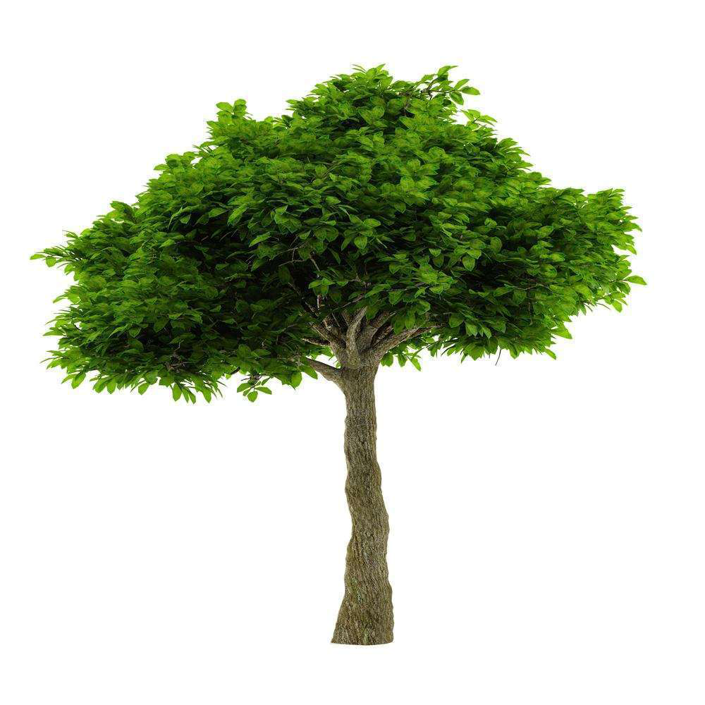 how to shape a live oak tree