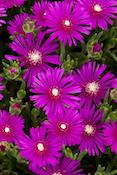 hardy-ice-plant-monrovia