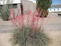 red-yucca-wikipedia