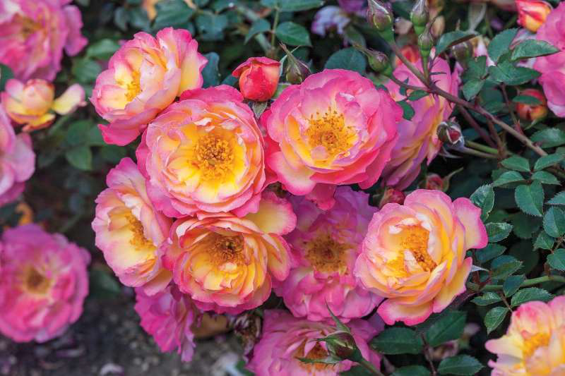 5 Simple Steps To Properly Care For Roses