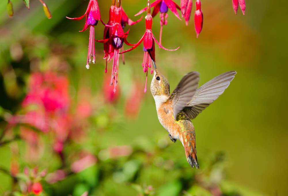 How-To: Designing a garden to attract hummingbirds