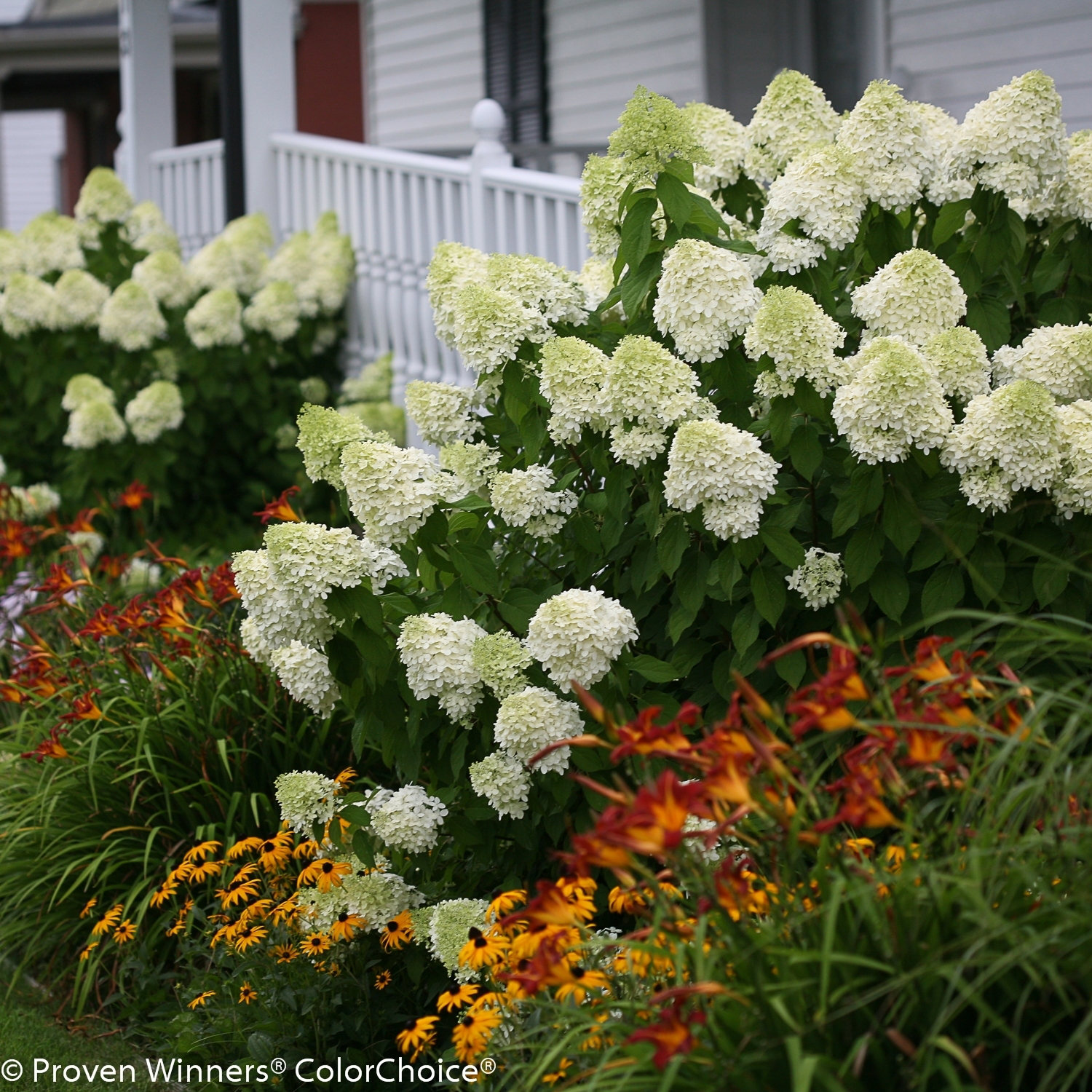 Old and new hydrangea cultivars continue to be popular for Limelight hydrangea