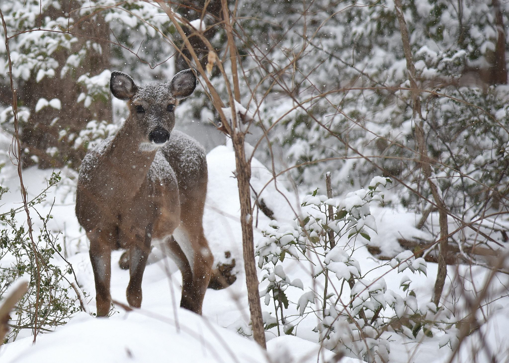 Reduce winter deer browsing damage with these tips