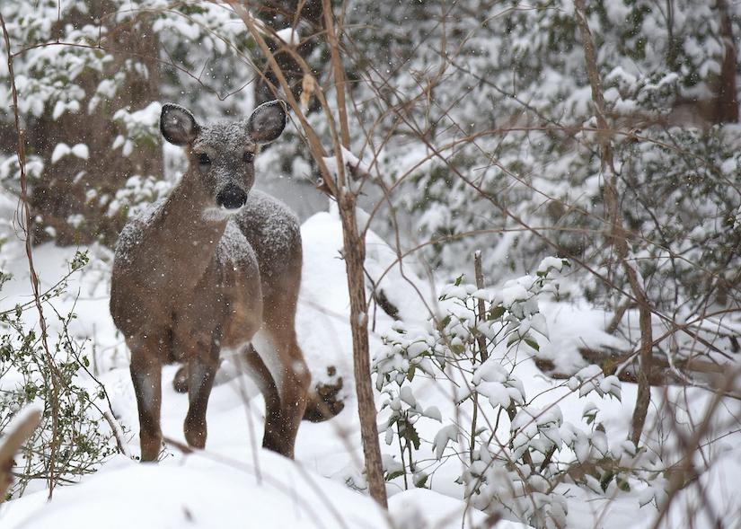 deer-in-snow-heather