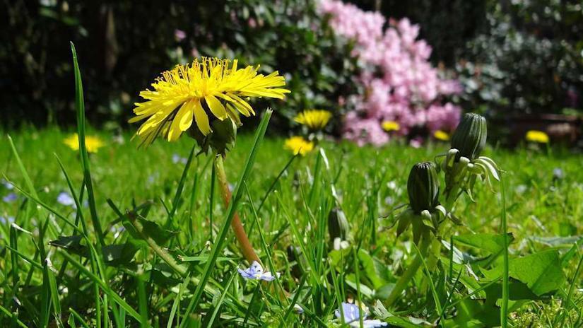 Photo of Dandelions in a Yard