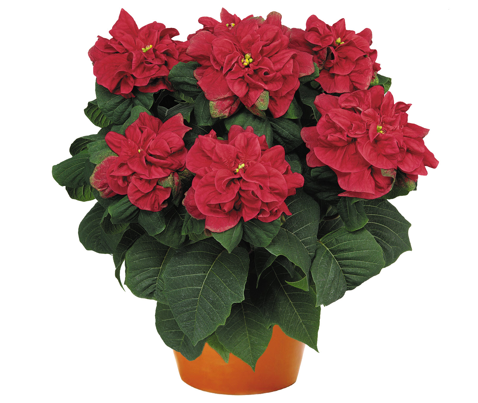 7 not so traditional poinsettias to check out this holiday. Black Bedroom Furniture Sets. Home Design Ideas