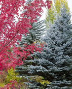 colorado-blue-spruce-monrovia