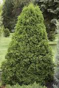 emerald-green-arborvitae-monrovia