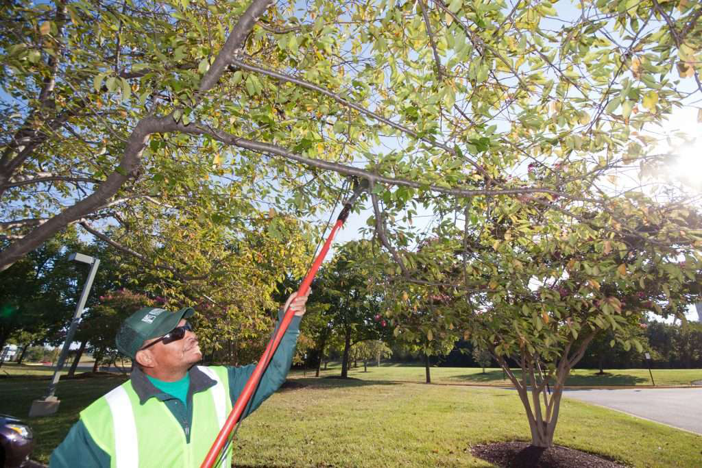 Landscape Professional Trimming a Tree
