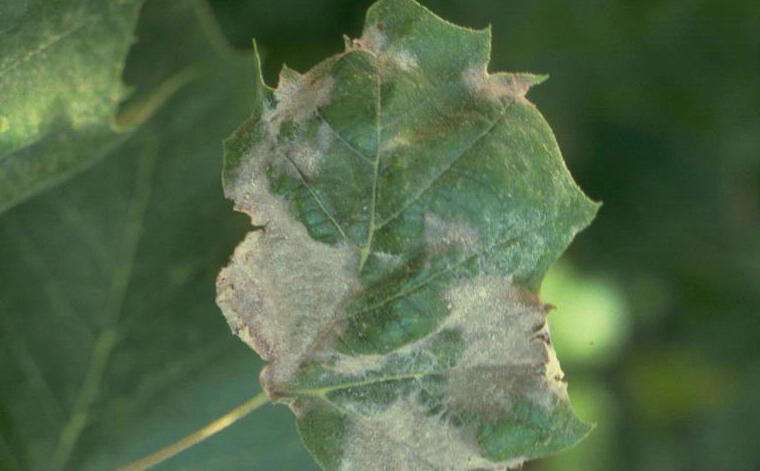 Tree Fungal Diseases And How To Handle Control Anthracnose