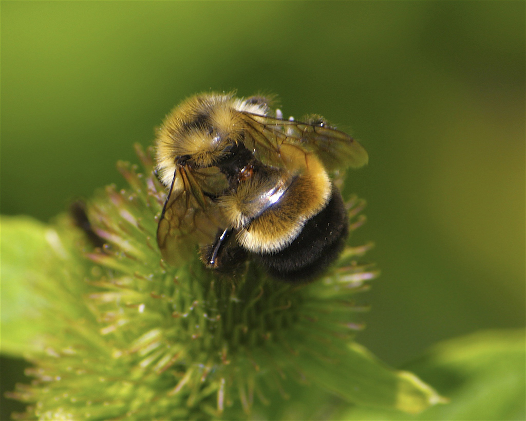 First bumblebee species listed under Endangered Species Act