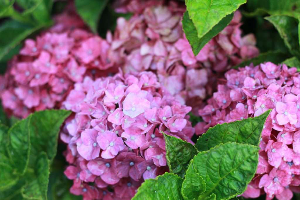 Advice on pruning – and waiting to prune – hydrangeas