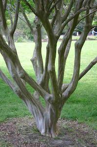pruned-crape-myrtle-ryan-somma