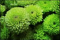 Green button pompon chrysanthemum