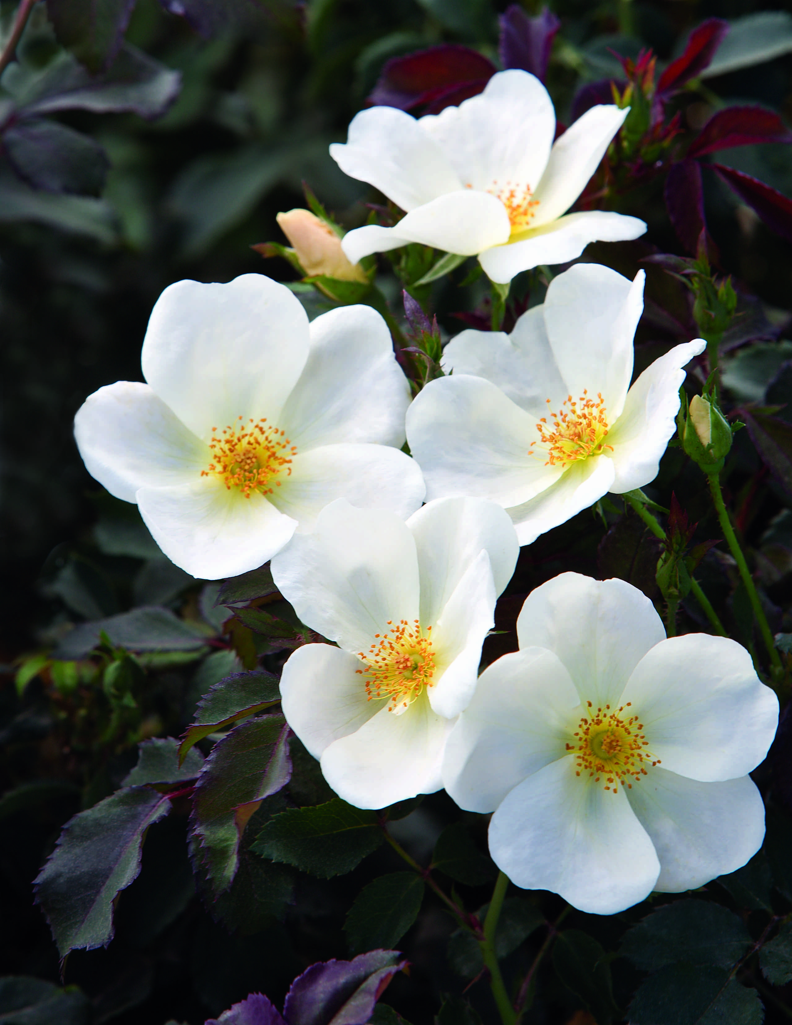 Roses In Garden: Knock Out Family Of Roses Grows With Three More Members