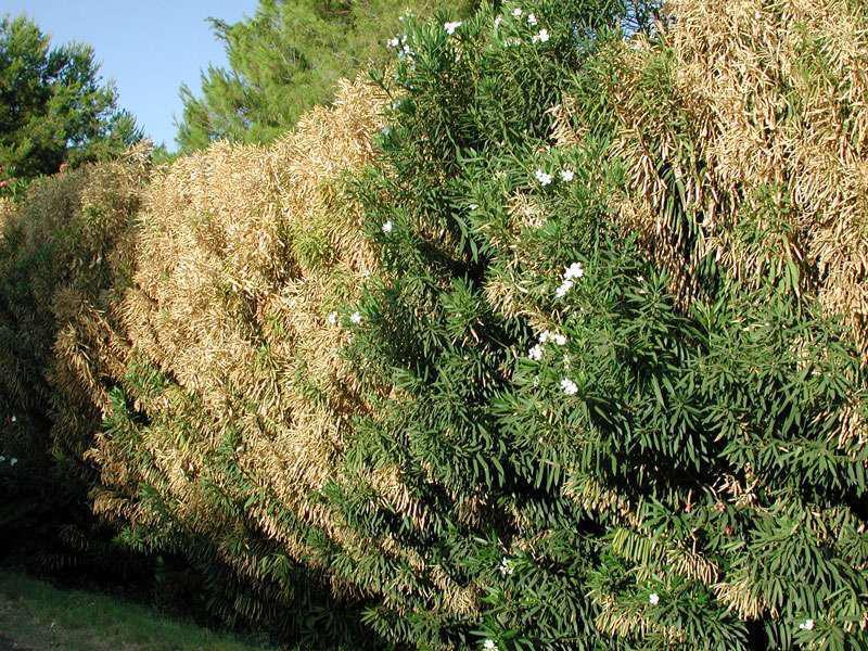 Plant pests: Oleander leaf scorch and emerald ash borer