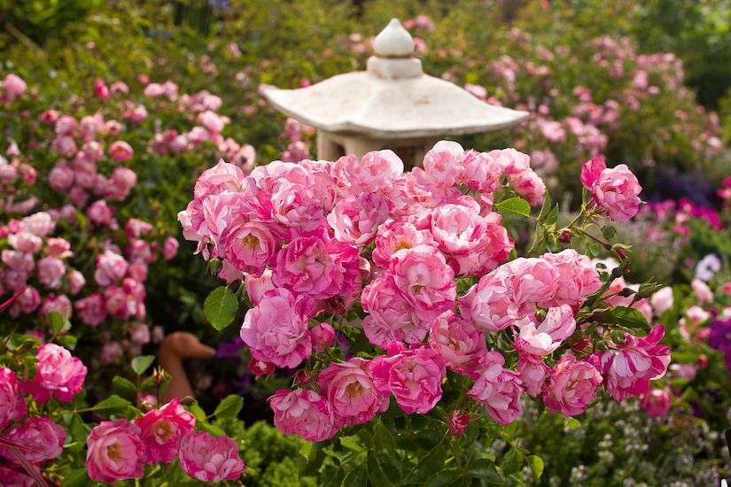 Pink Roses in Flower Garden