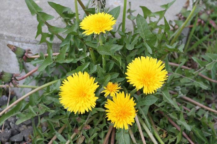 dandelions-bob-jenkins