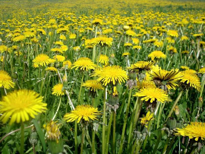 dandelion weeds in a field