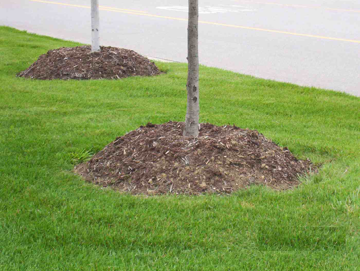 Mulch Volcanoes And The Threats They Pose To Valuable Trees