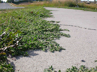 prostrate-knotweed