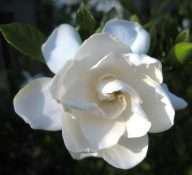 whit gardenia august beauty