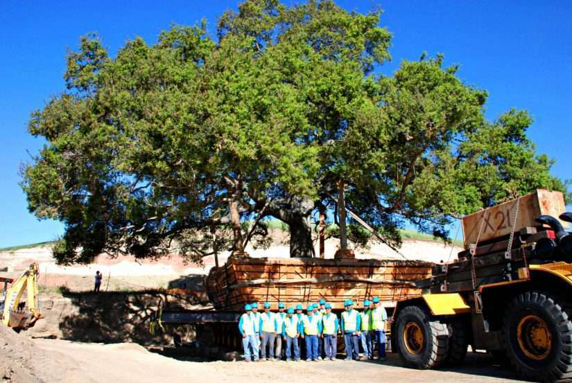 relocation of large tree by brightview tree company
