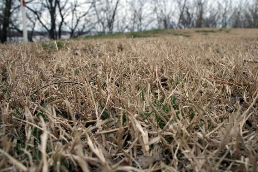 dead grass in yard