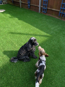 dogs on turf
