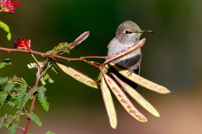 How you and your customers can help Audubon protect hummingbirds