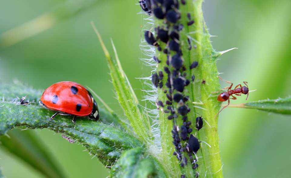 Advantages of asexual reproduction in aphids picture