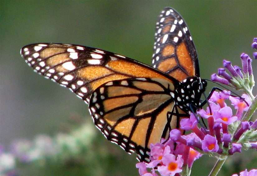 How To Get Monarch Butterflies To Your Client S Garden
