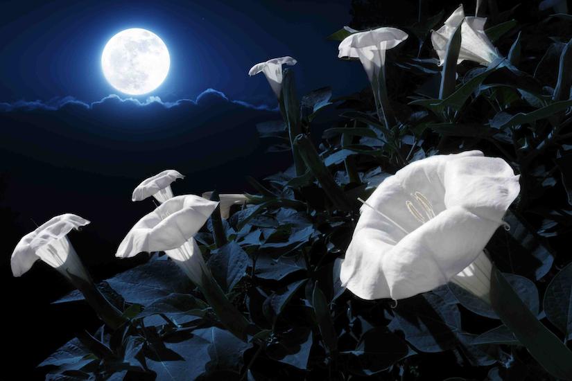 moonlight garden flowers