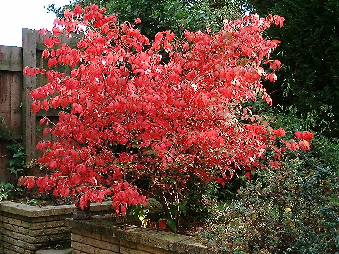 Euonymous alatus or winged burning bush