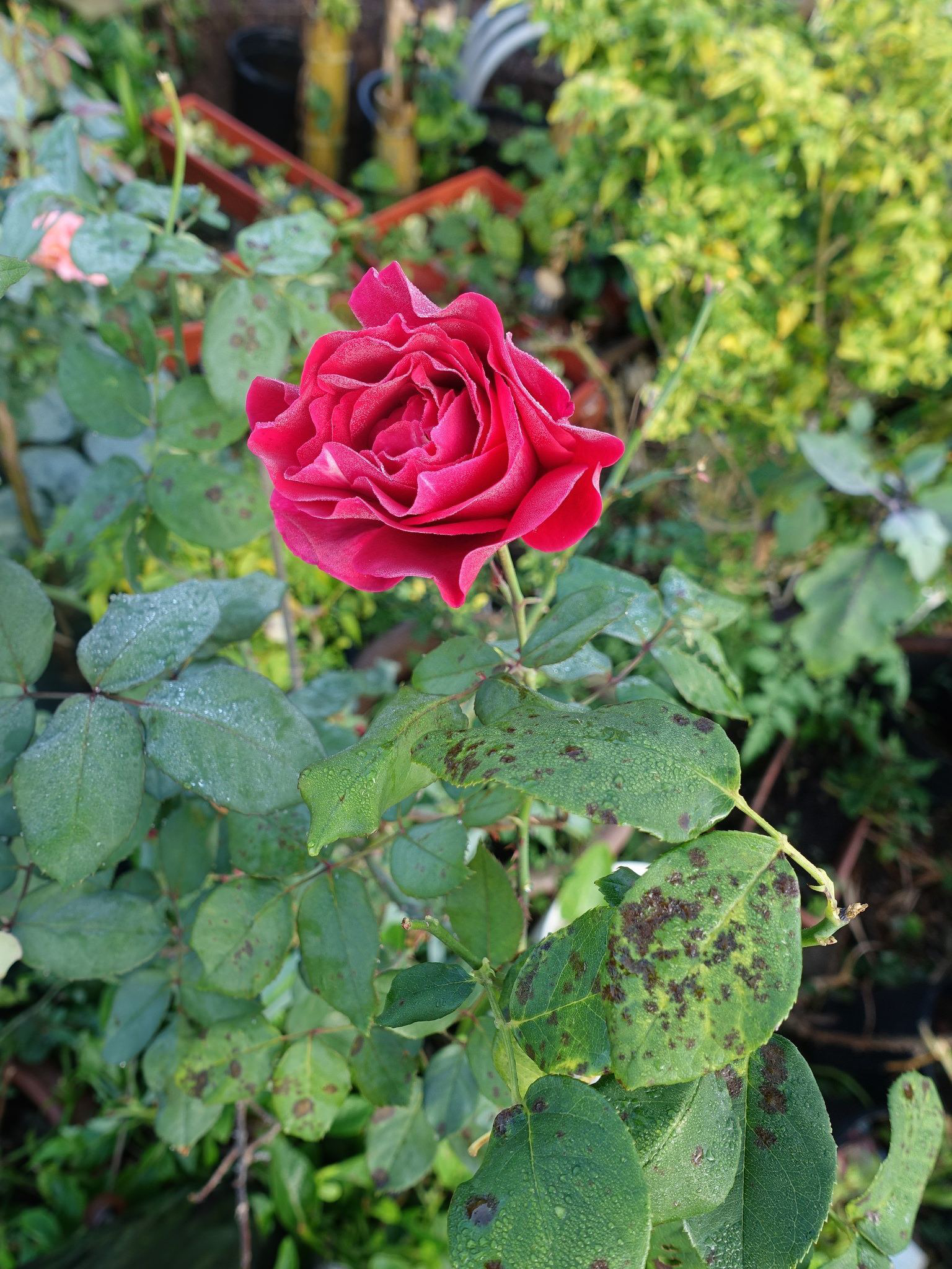 Plant Diseases: Identification Control Planet Natural Common rose problems pictures