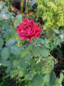 black-spot-rose