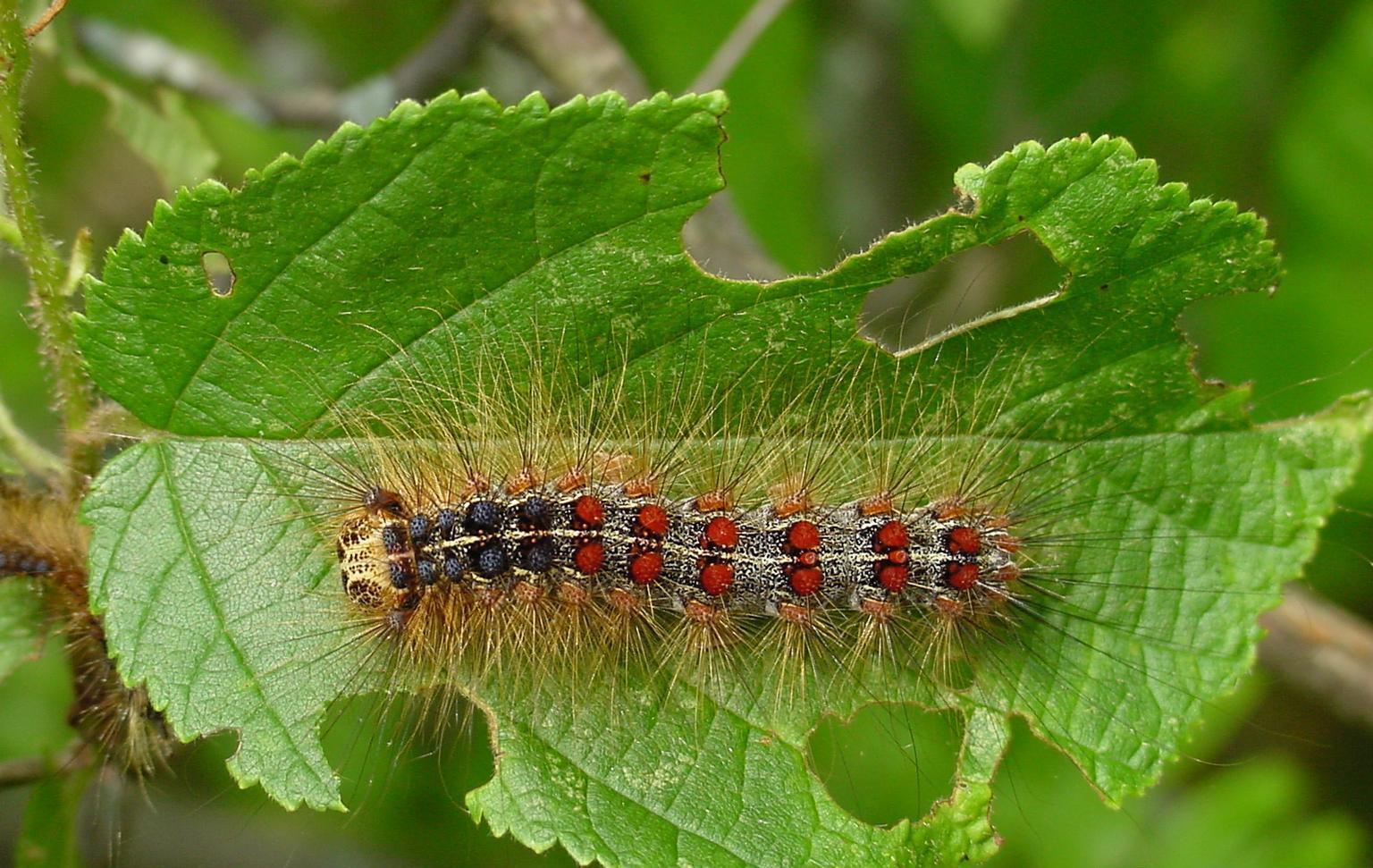 gypsy moth caterpillar on green leaf