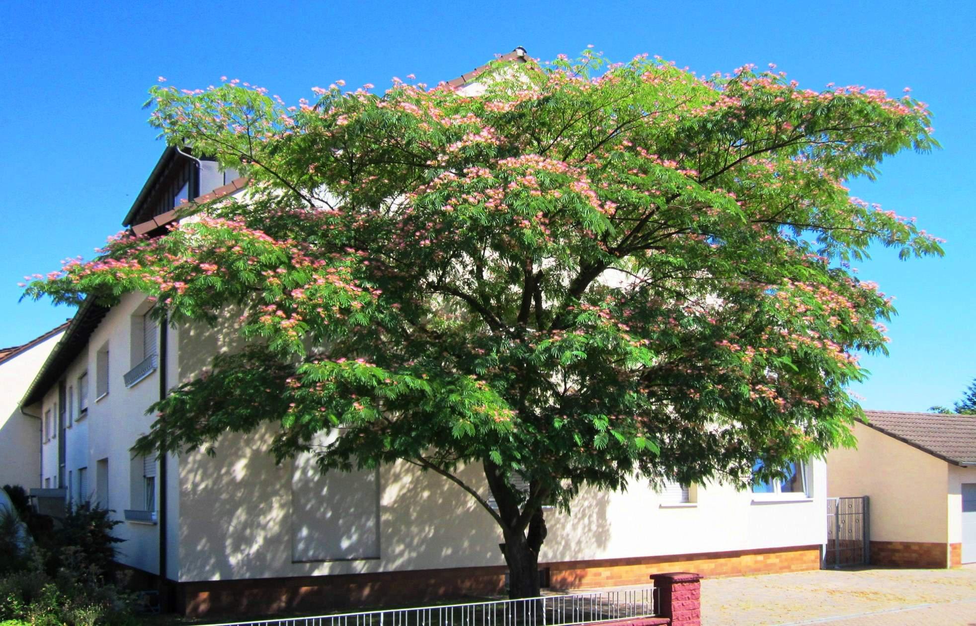 mimosa or persian silk tree